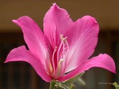 Bauhinia ~ National Flower of Hong Kong