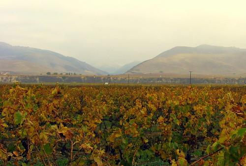 Riverbench vineyard Dec 09 cropped