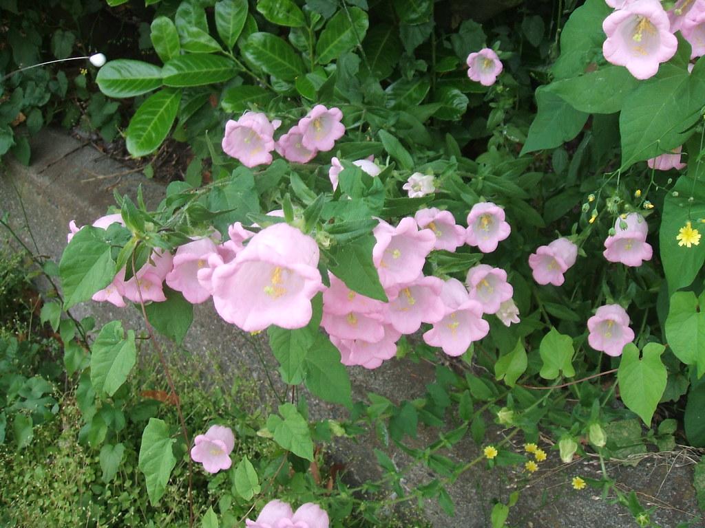 Pink campanulas