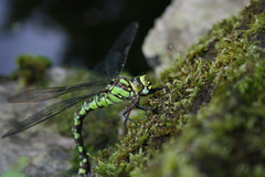 Dragonfly by Chris Coomber