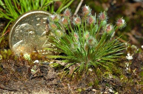 Centrolepis strigosa (Hairy Bristlewort)