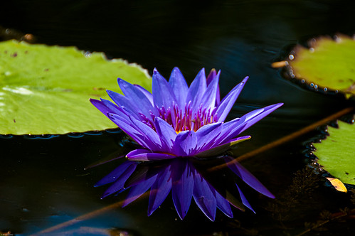 Purple Lilly Pad Flower