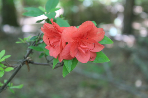 Bull Run Occoquan Trail - Blooming Azaleas