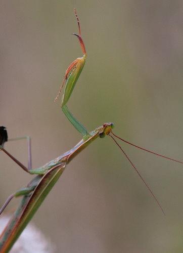 mantis4