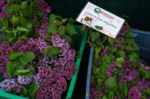 Opening Day of Trout Lake Farmers Market - lilacs