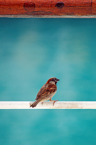 sparrow on rail