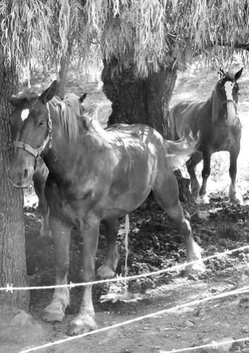 horse piss