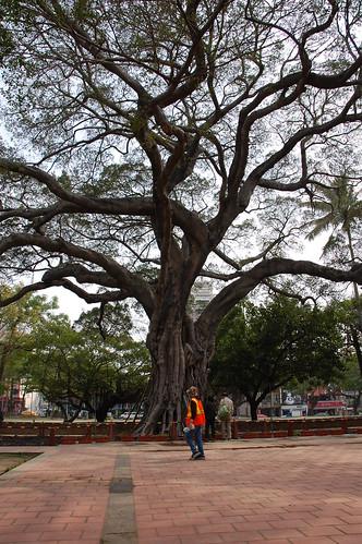 Tainan Big Tree