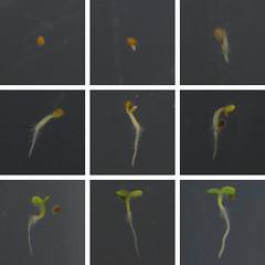 Arabidopsis germination