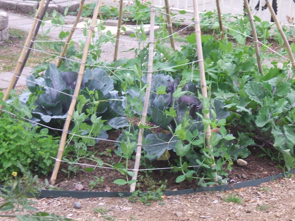 School veggie garden teepee close up