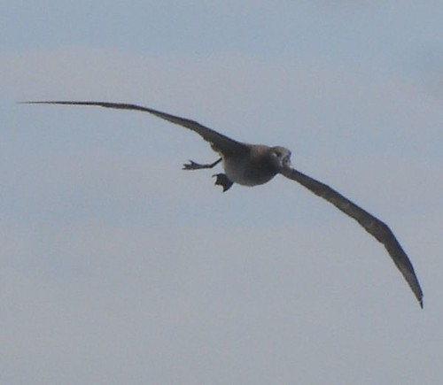 Same bird, in flight