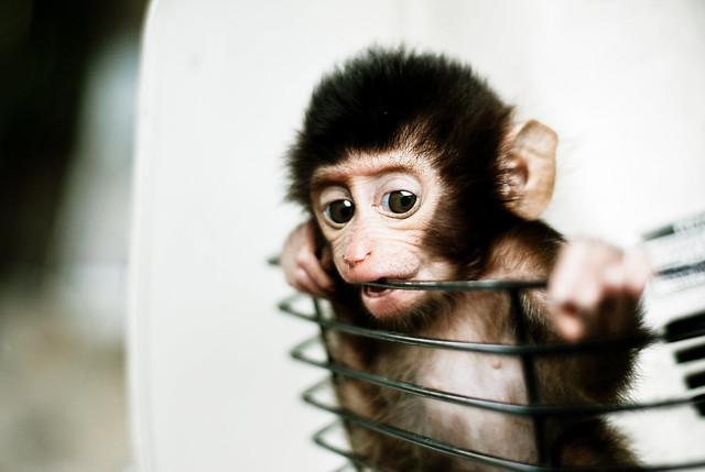 Baby Monkey in a Basket
