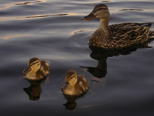 Ducklings and Mom on Sluice Pond
