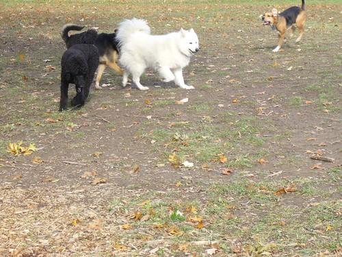 Yankee aan het spelen met andere honden in Burgoyne Woods (2)