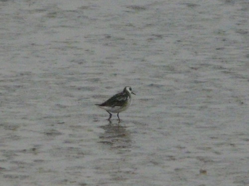 Red-necked Phalarope (record shot)