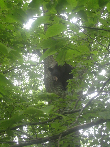 Travis treed 3 bears in the last 2 months