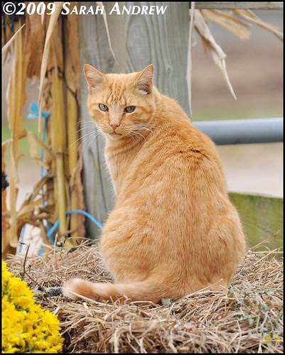 Barn Kitty Autumnal Still Life II