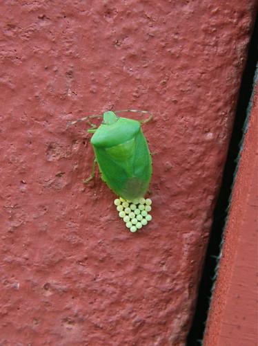 Leaf bug laying eggs on the barn