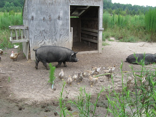 Porky and Ducks