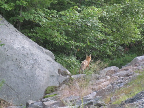 Fox, on the way to Killarney Provincial Park