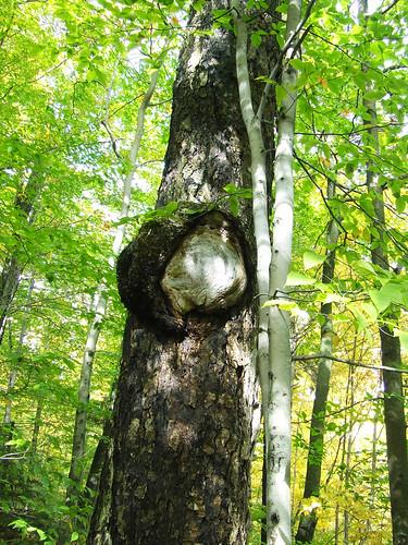 sugar maple burl 4