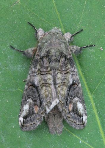 7983 - Heterocampa obliqua - Oblique Heterocampa