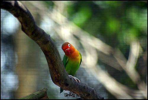 Fischer's Lovebird (Agapornis fischeri)