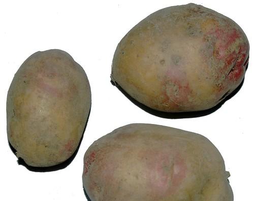 Bec de Caille, a bicolour potato cultivar.