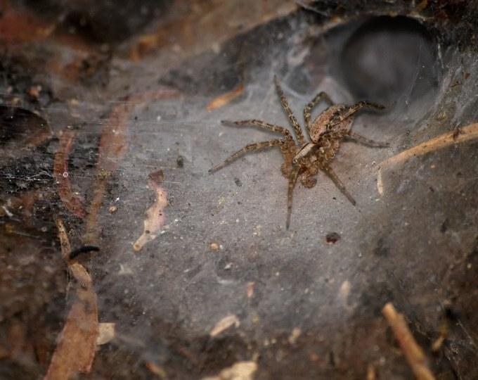 Funnel-weaving spider in California