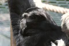 Kappengibbon am Parc zoologique et botanique de Mulhouse