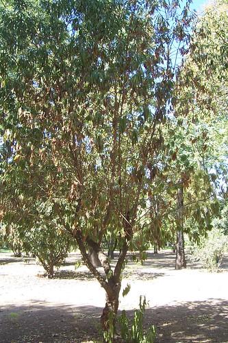 Todos los arbustos están corriendo la misma suerte de deshidratarse.