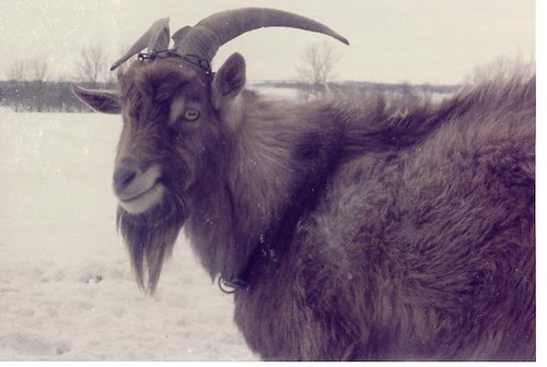 Edward the Goat
