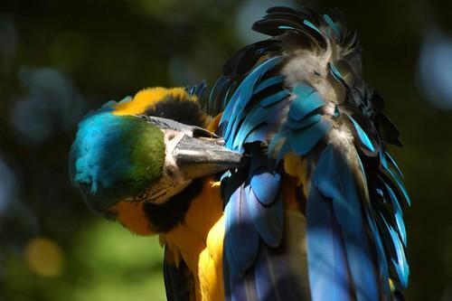 Gelbbrustara im Zoo d'Amnéville
