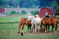 Horses & rooster at Dutch Creek Trails in Valle Crucis