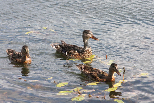 Meanie Mom Duck & Her Ducklings