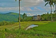 Filipino Rice Farm and House