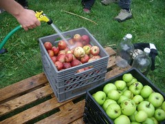 Washing apples at apple day