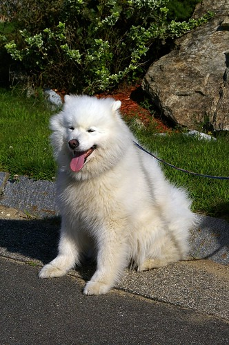 Sergei the Samoyed