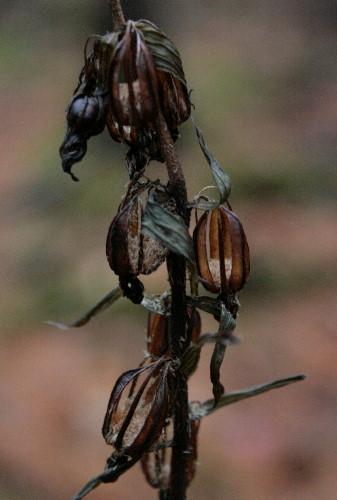 Helleborine, Epipactis helleborine - seed pods