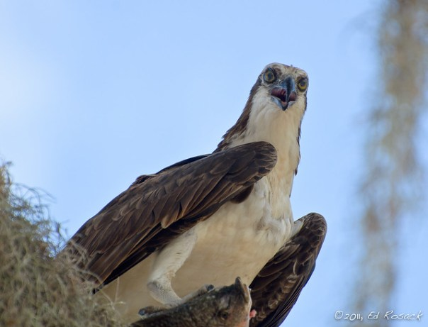 Osprey on perch with perch (?)