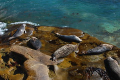Sealions playing