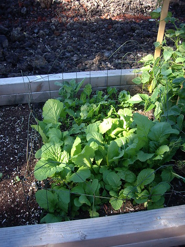 MUSTARD GREENS PATCH