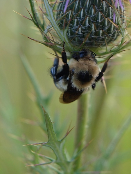 Bumblebee at Work