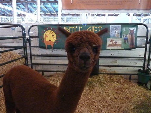 alpaca chocolate