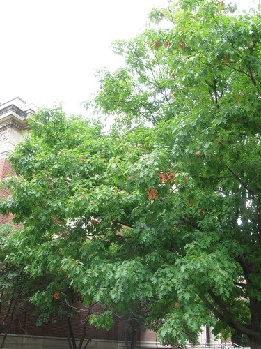 Transition Thursday - Week 1 - Quercus alba