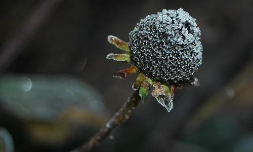 Frostbitten Rudbekia