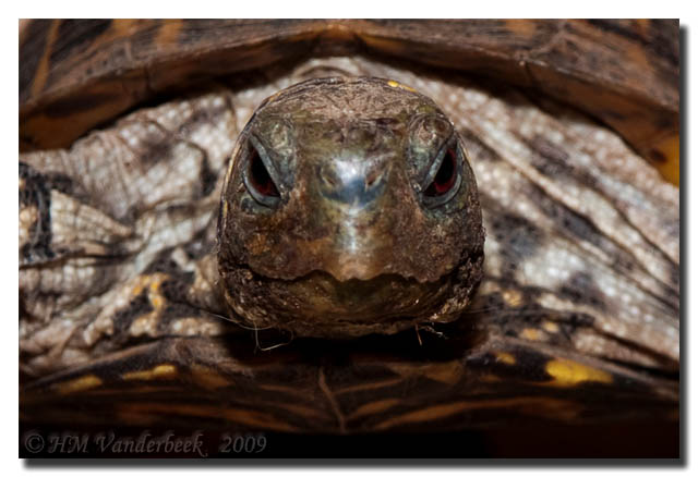 Andy the Ornate Box Turtle