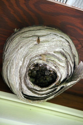 Wasp nest on Garage