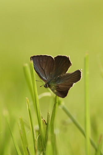 Male Purple hairstreak, Neozephyrus quercus