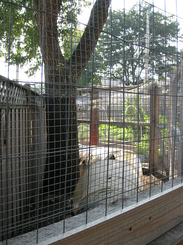 The chicken run. The raccoon was sitting in the tree just above.